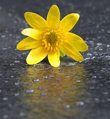healing Bible study yellow flower in the rain
